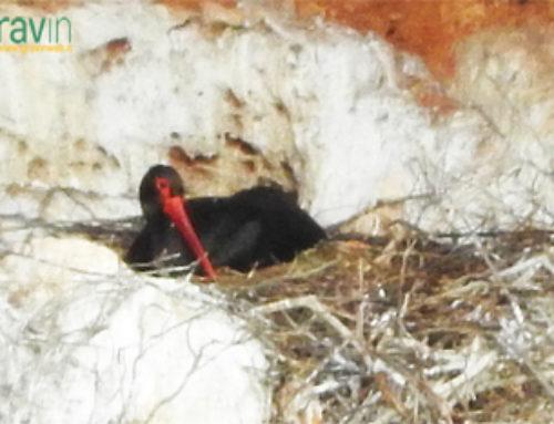 La Cicogna nera nella Gravina di Laterza