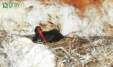 cicogna nera, gravina di laterza